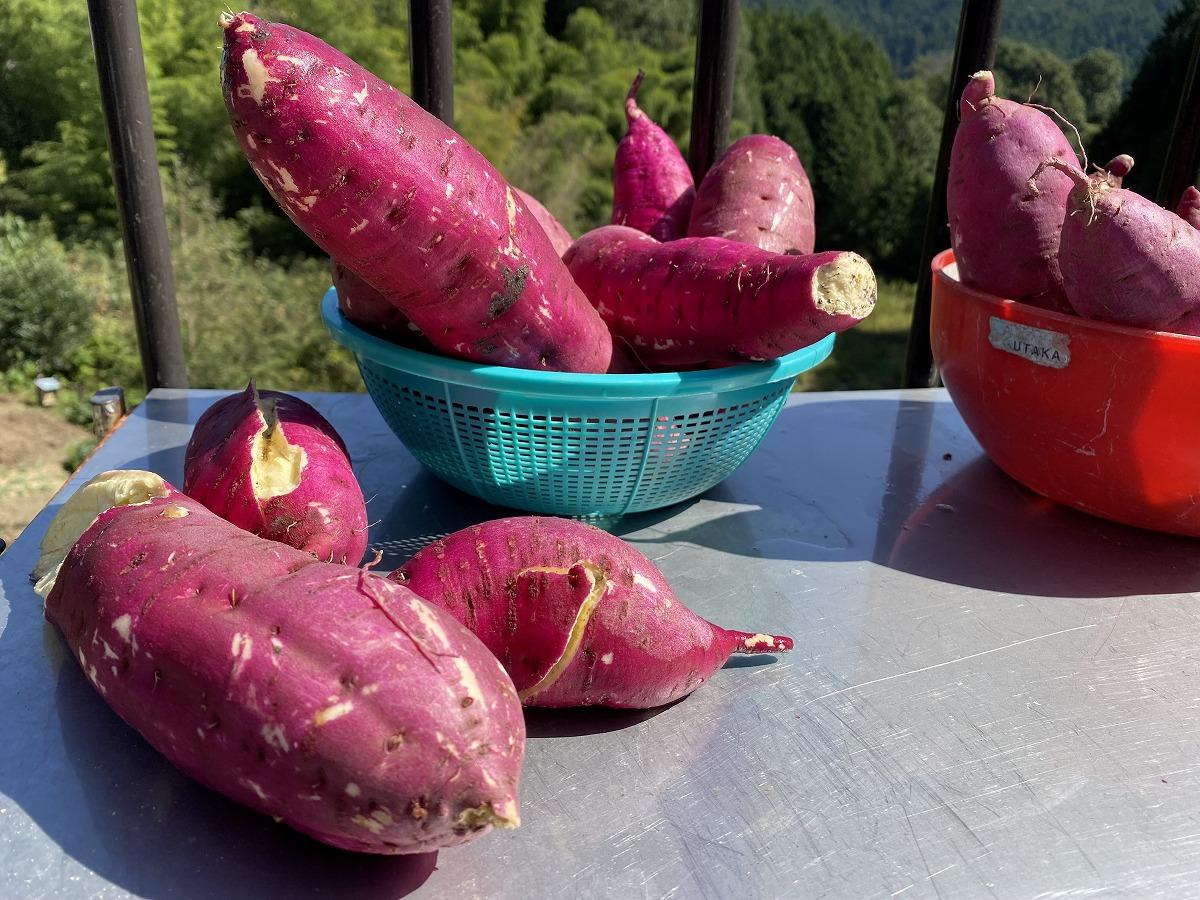 親子で野菜の収穫2